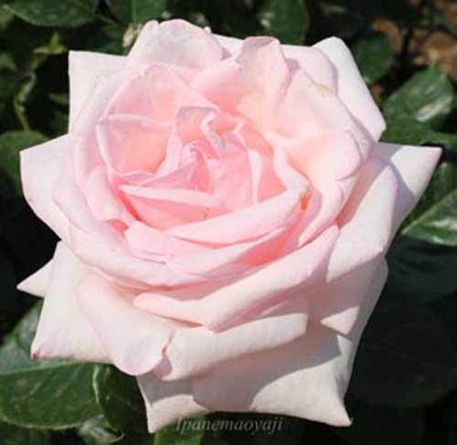ロイヤルハイネスはピンク色のバラ