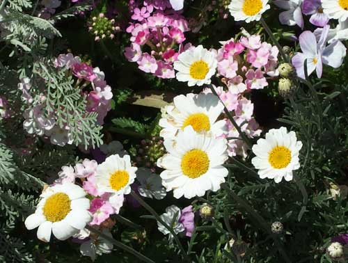 キク科の草花