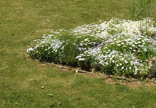 白色の花がキク科なのかな