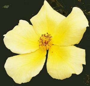 天の川は黄色のバラ