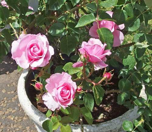 シュラブ系統のバラ