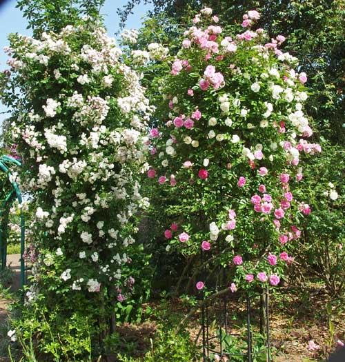 つるバラの咲く風景