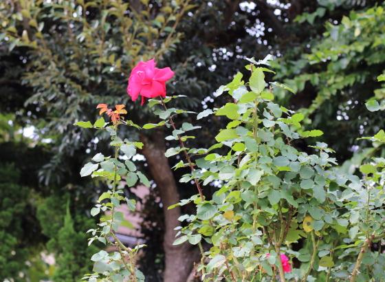 赤色のバラ