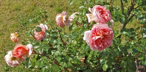 アプリコットピンク色のバラ