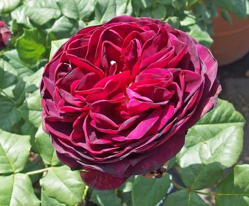 濃いワインレッド色のバラ